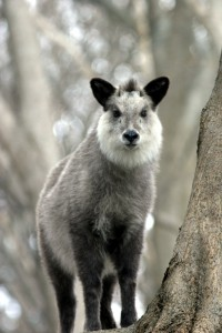 Japanese_Serow_Wakinosowa_Japan